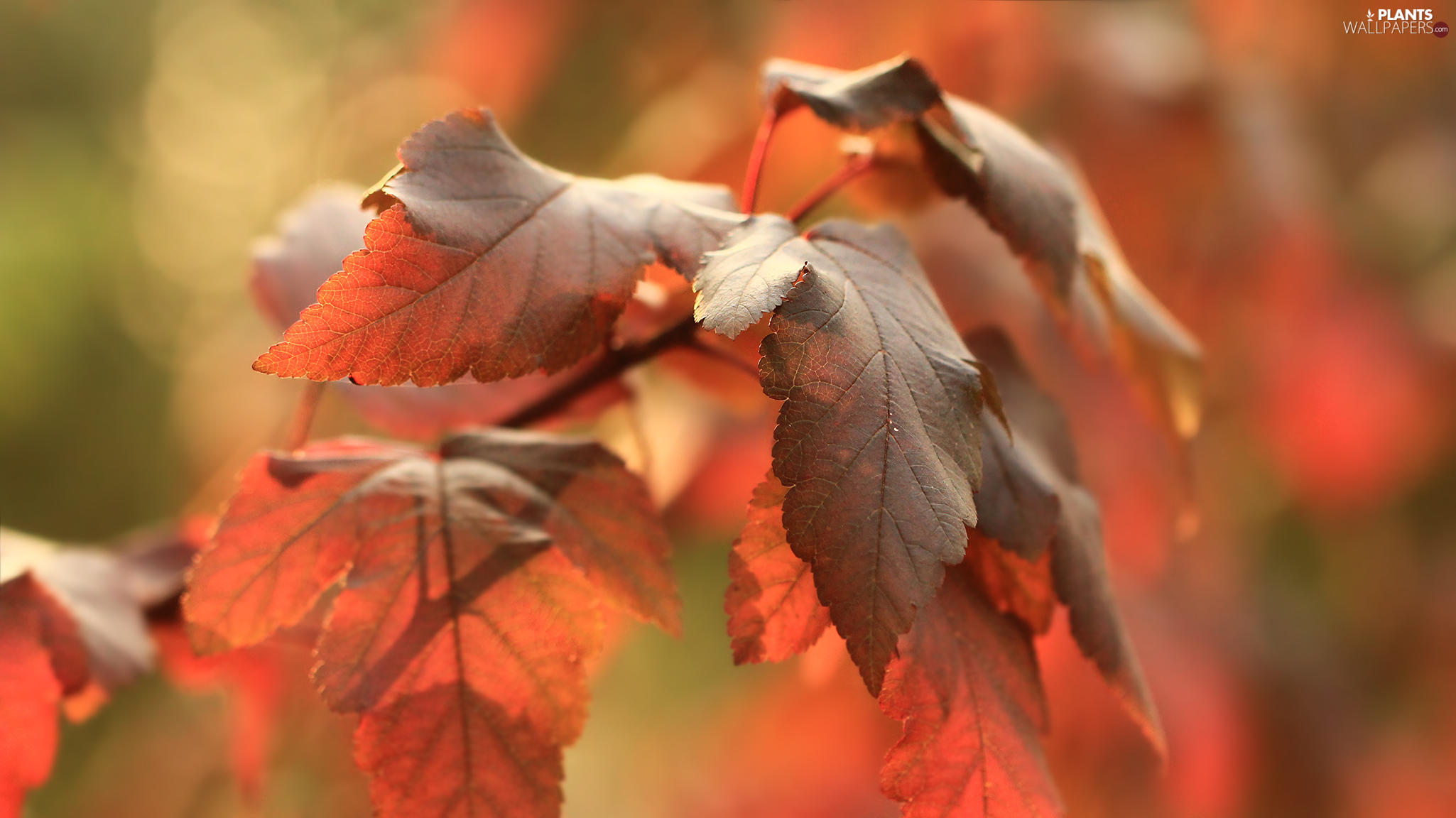 Autumn, Leaf, Red, red head