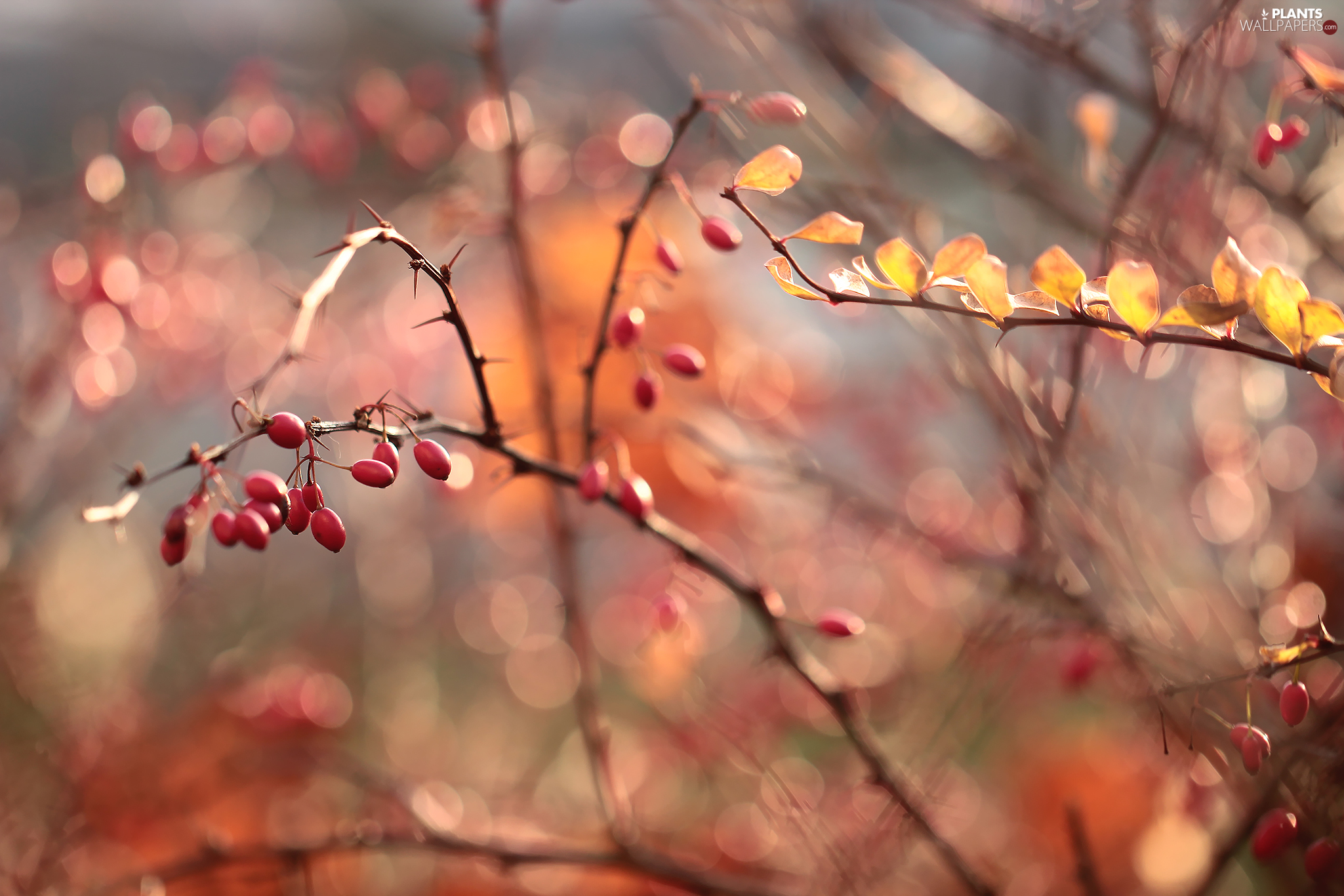 Fruits, barberry, Red