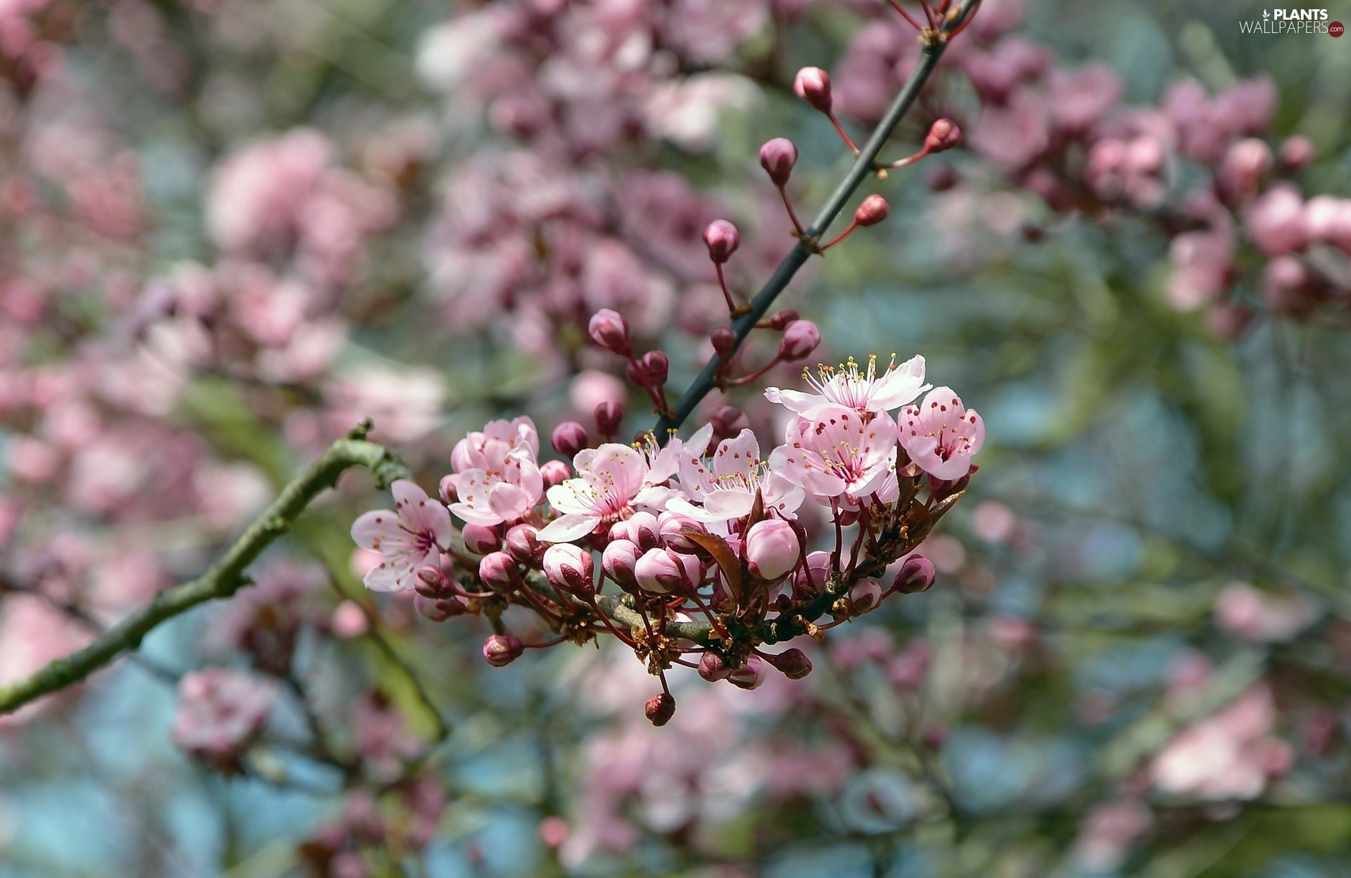 blurry background, Flowers, twig, Fruit Tree