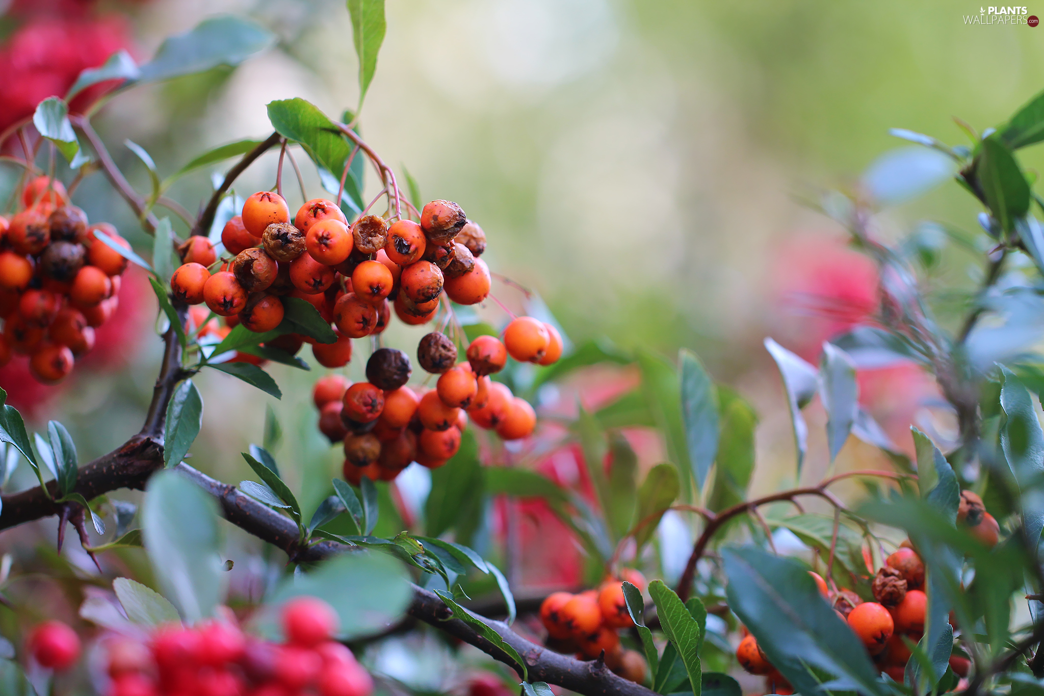Bush, Fruits, Scarlet firethorn, Red