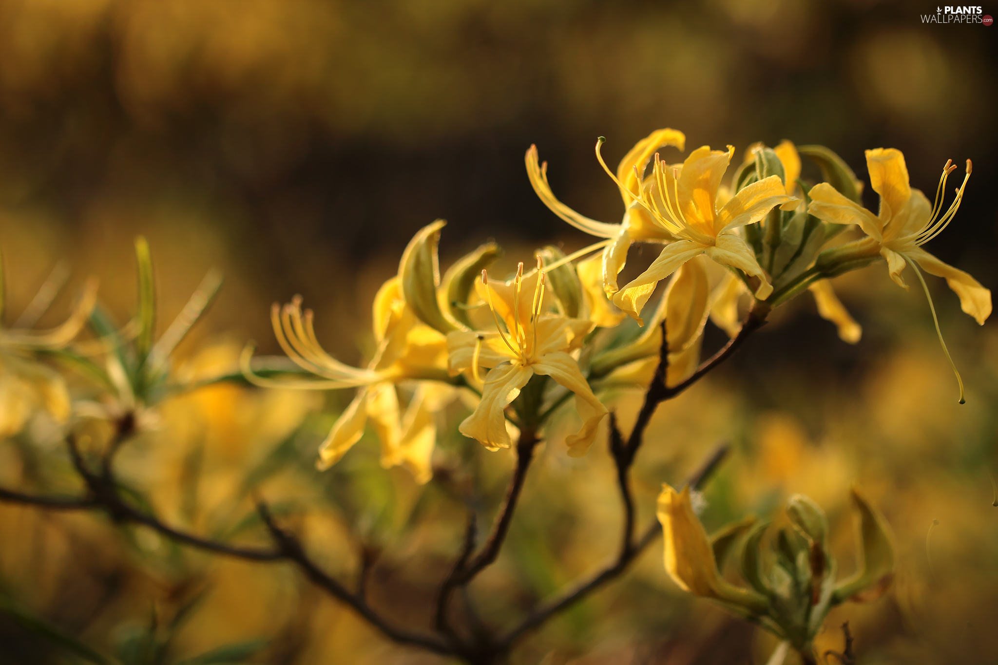 Flowers, Yellow, Yellow, Common Rhododendron