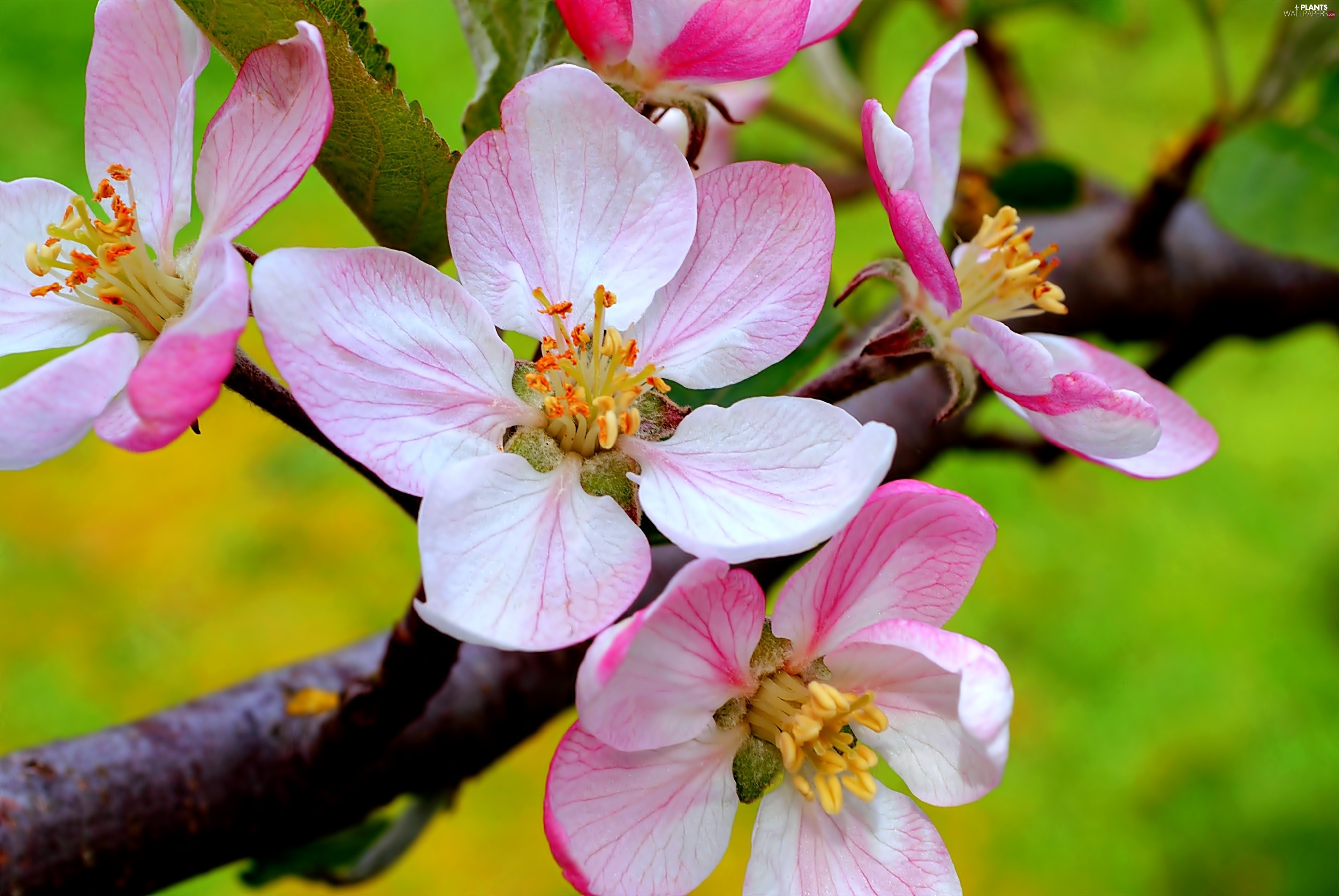 Fruit Cherry Flowers Viewes Trees