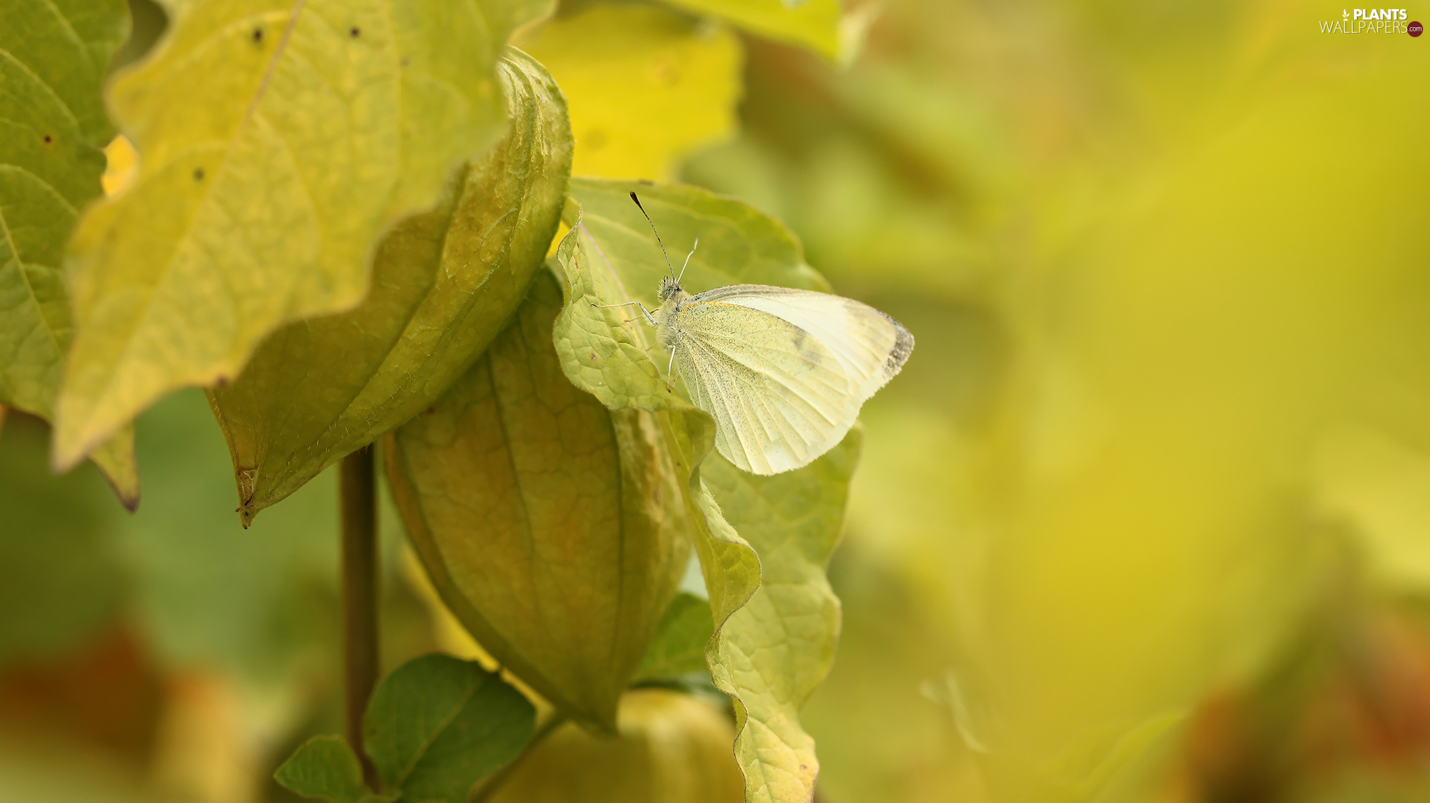 butterfly, Insect, physalis bloated, Cabbage
