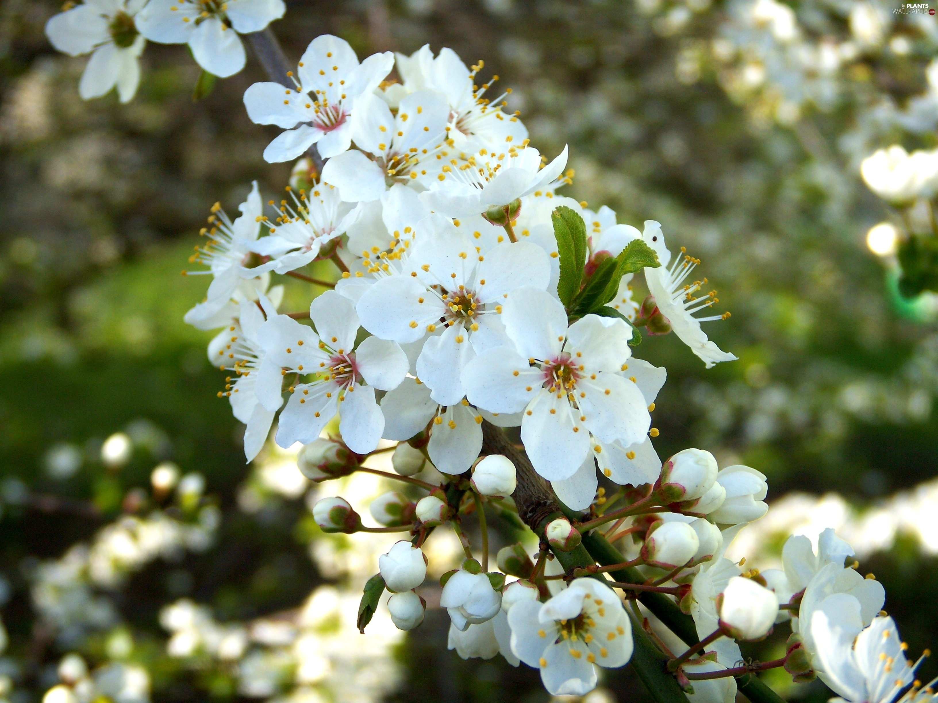 pictures of white flowering trees  flower, Natural flower