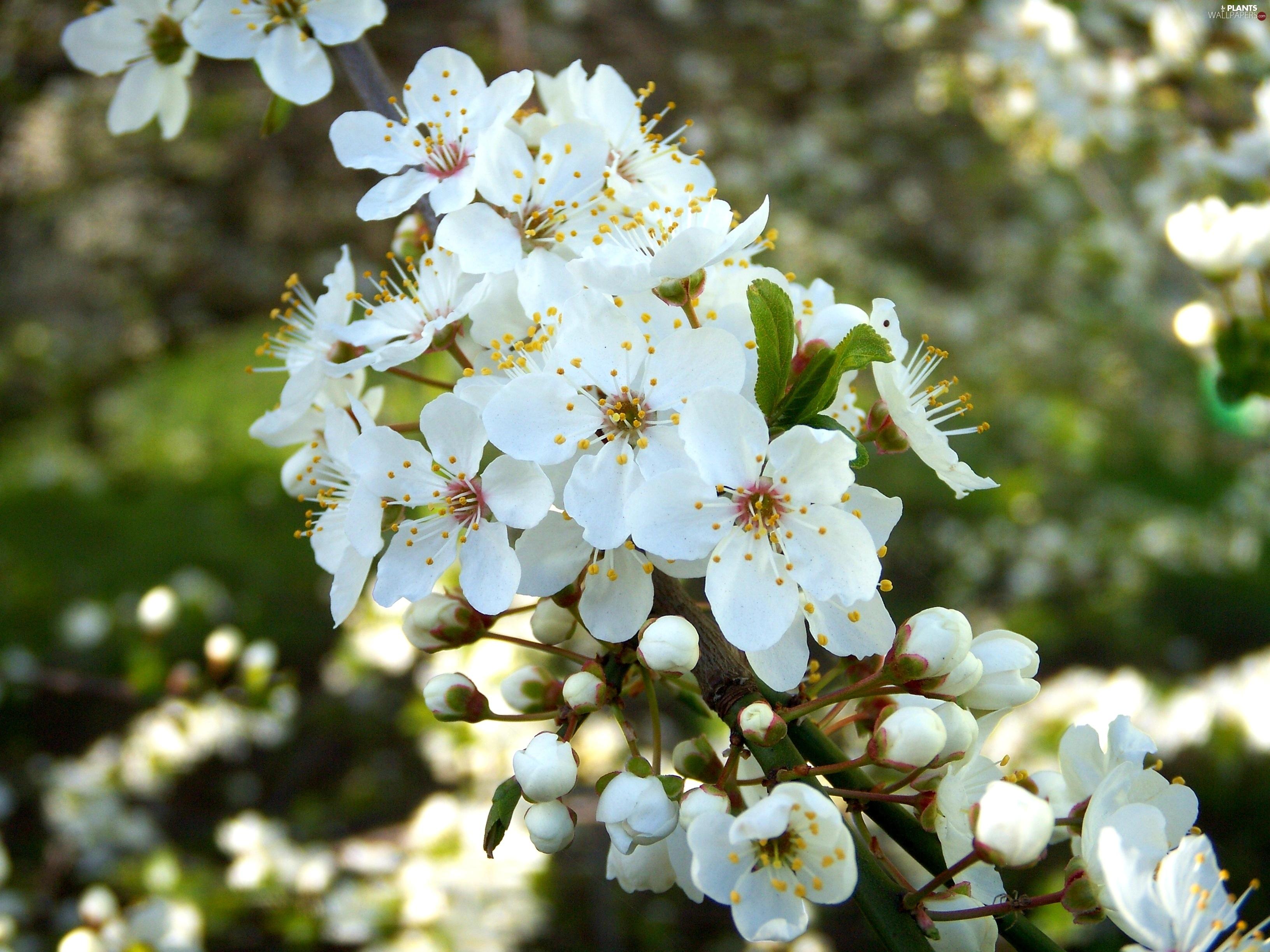 White Flowering Trees Savingourboysfo