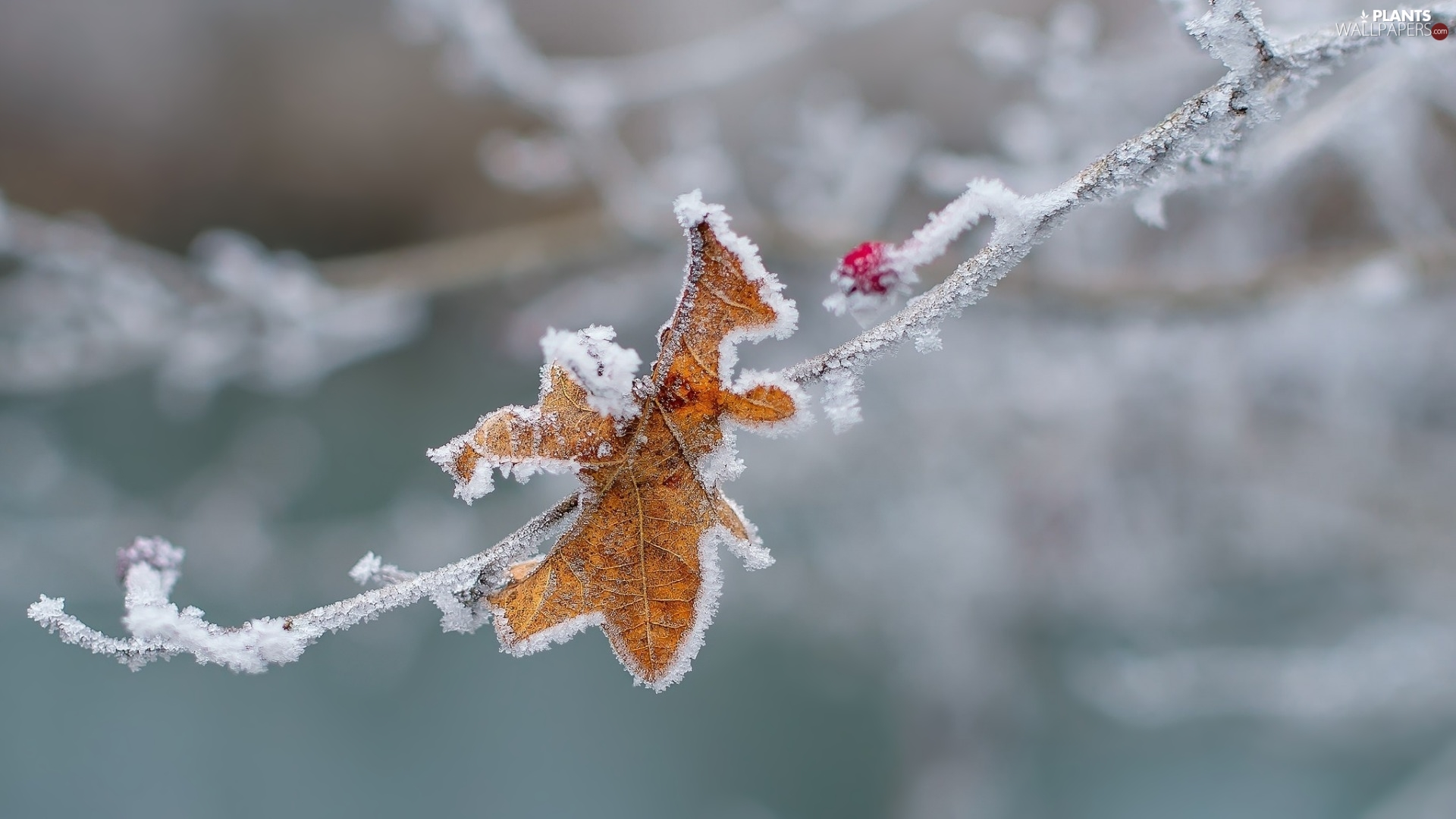 twig, berry, White frost, leaf