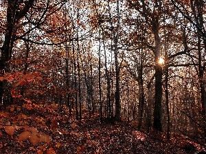 forest, sun, autumn, rays