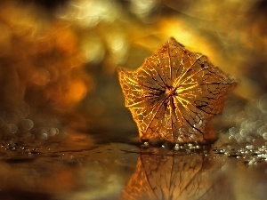 Bokeh, dry, physalis bloated, plant