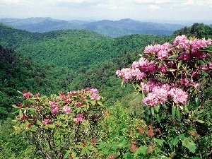 rhododendron, flourishing, forested, Mountains