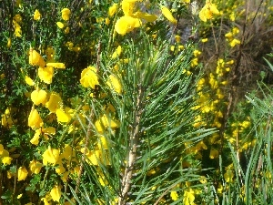 twig, Yellow, Flowers, pine
