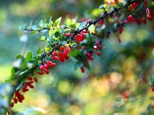 Fruits, Red, barberry, Bush