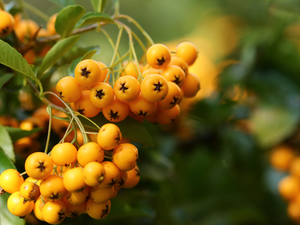 Fruits, Yellow, Scarlet firethorn