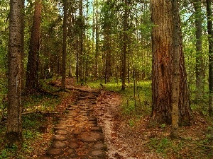 pine, Path, forest
