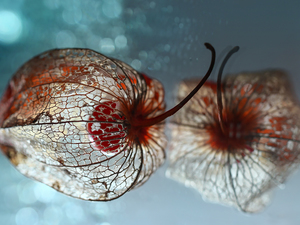 plant, Close, reflection, dry, physalis bloated