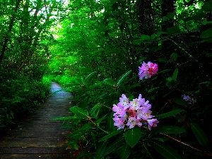 rhododendron, Flowers, forest, Path
