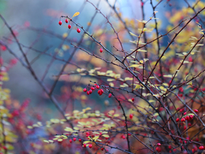 Twigs, barberry, Red, Bush, Fruits