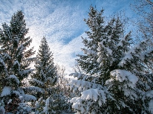 winter, Spruces, snow