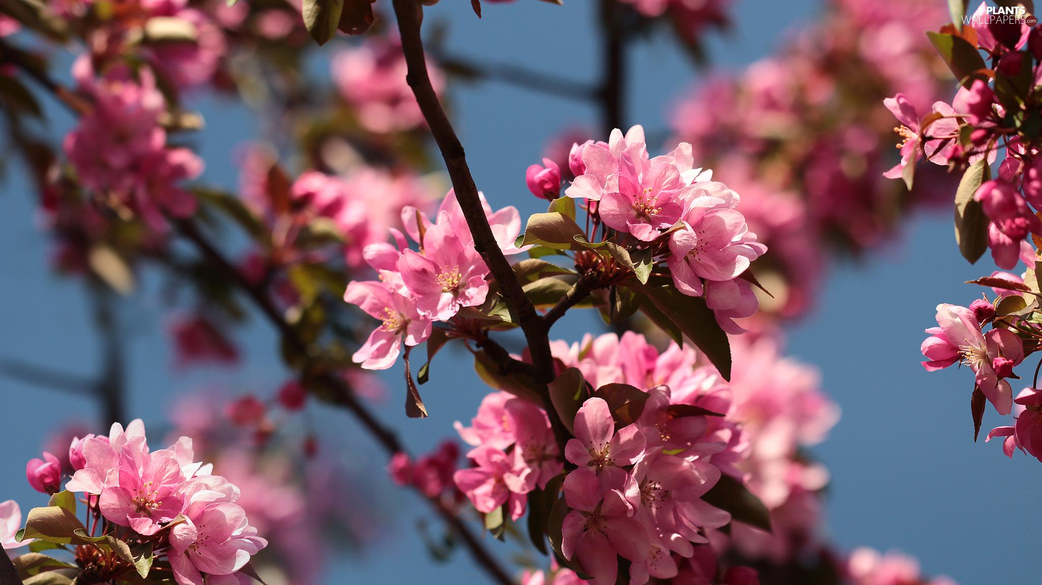 Pink Fruit Tree Apple Tree Flowers Plants Wallpapers 2050x1152