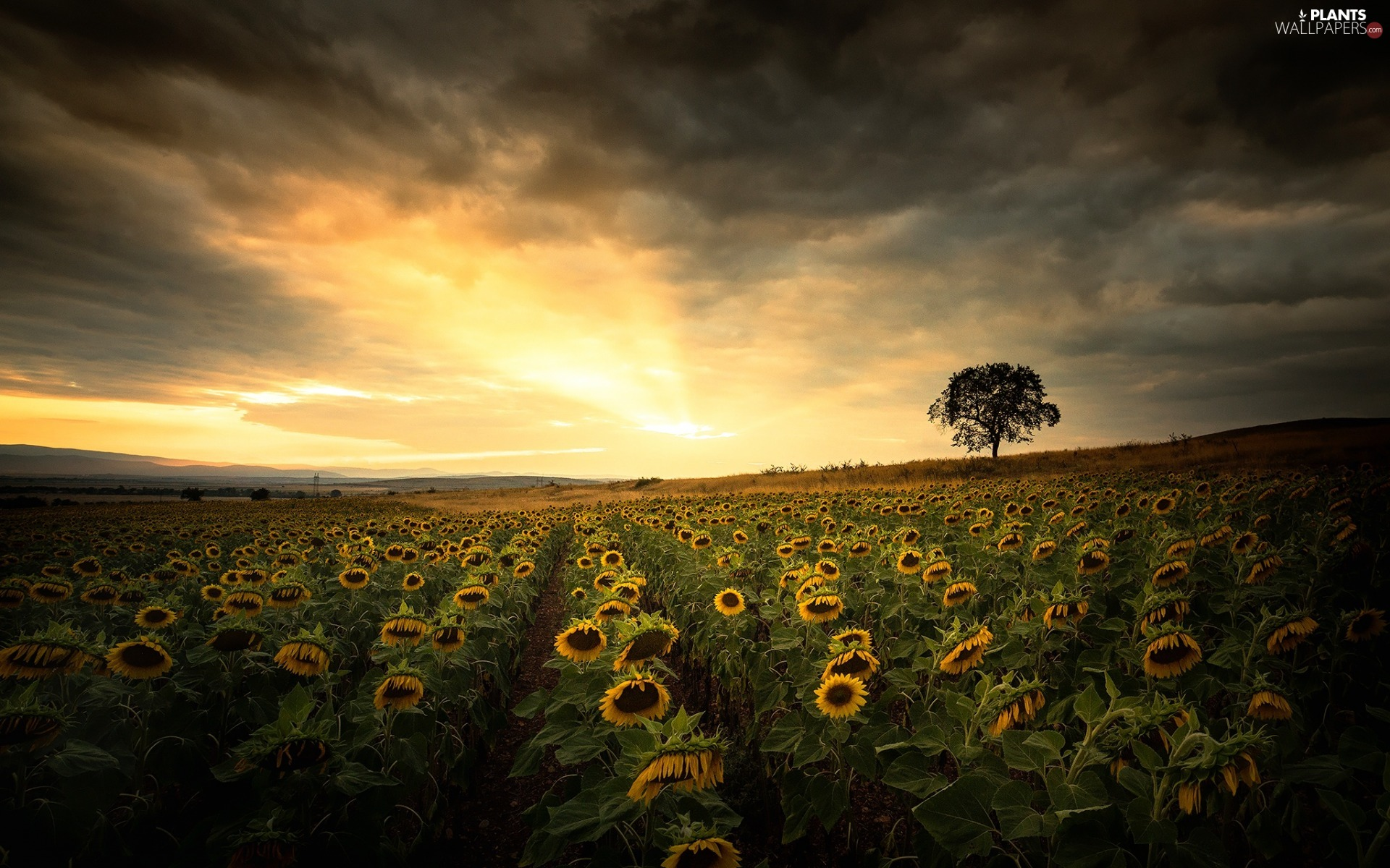 trees, Great Sunsets, Nice sunflowers, clouds, Field