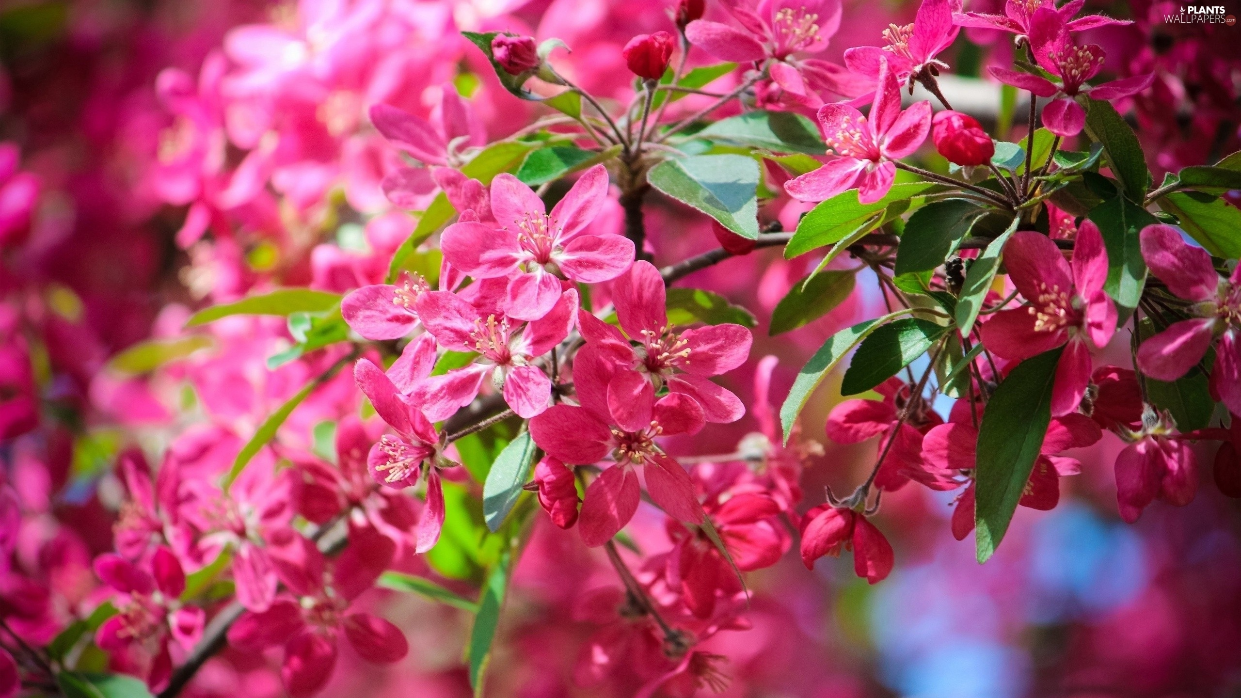 Pink Fruit Tree Flowers Plants Wallpapers 2560x1440