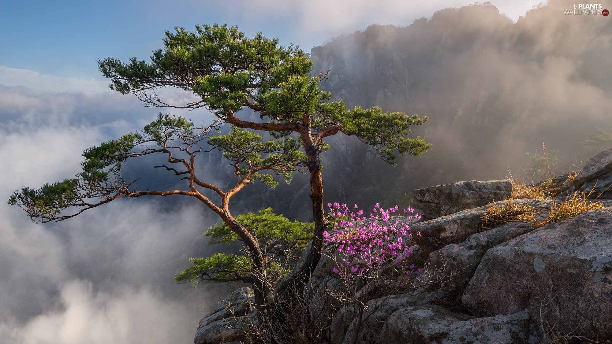 Fog, rocks, Floral, Bush, Mountains, South Korea, trees, pine, Flowers