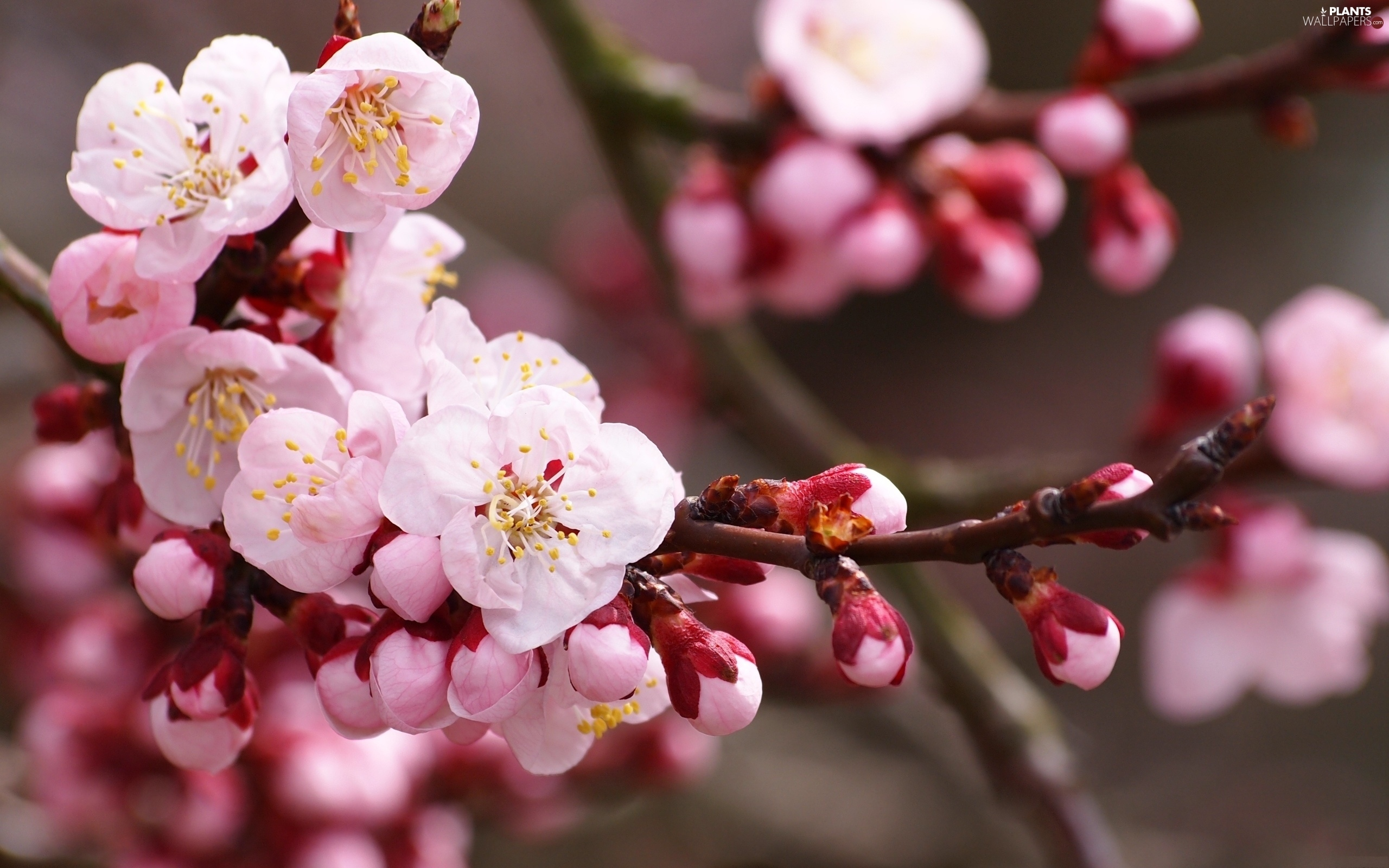 Pink Trees Fruit Flowers Plants Wallpapers 2560x1600