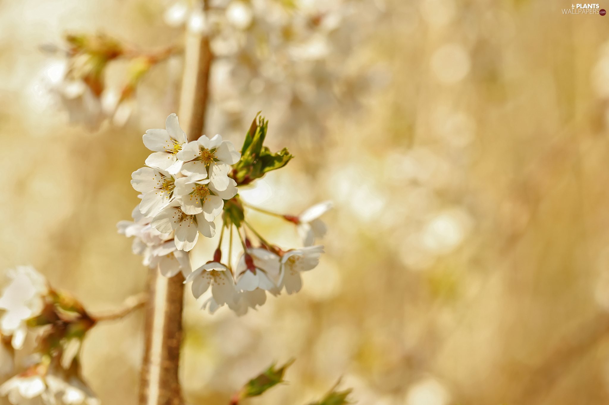 Blossoming, Fruit Tree, cherry, twig