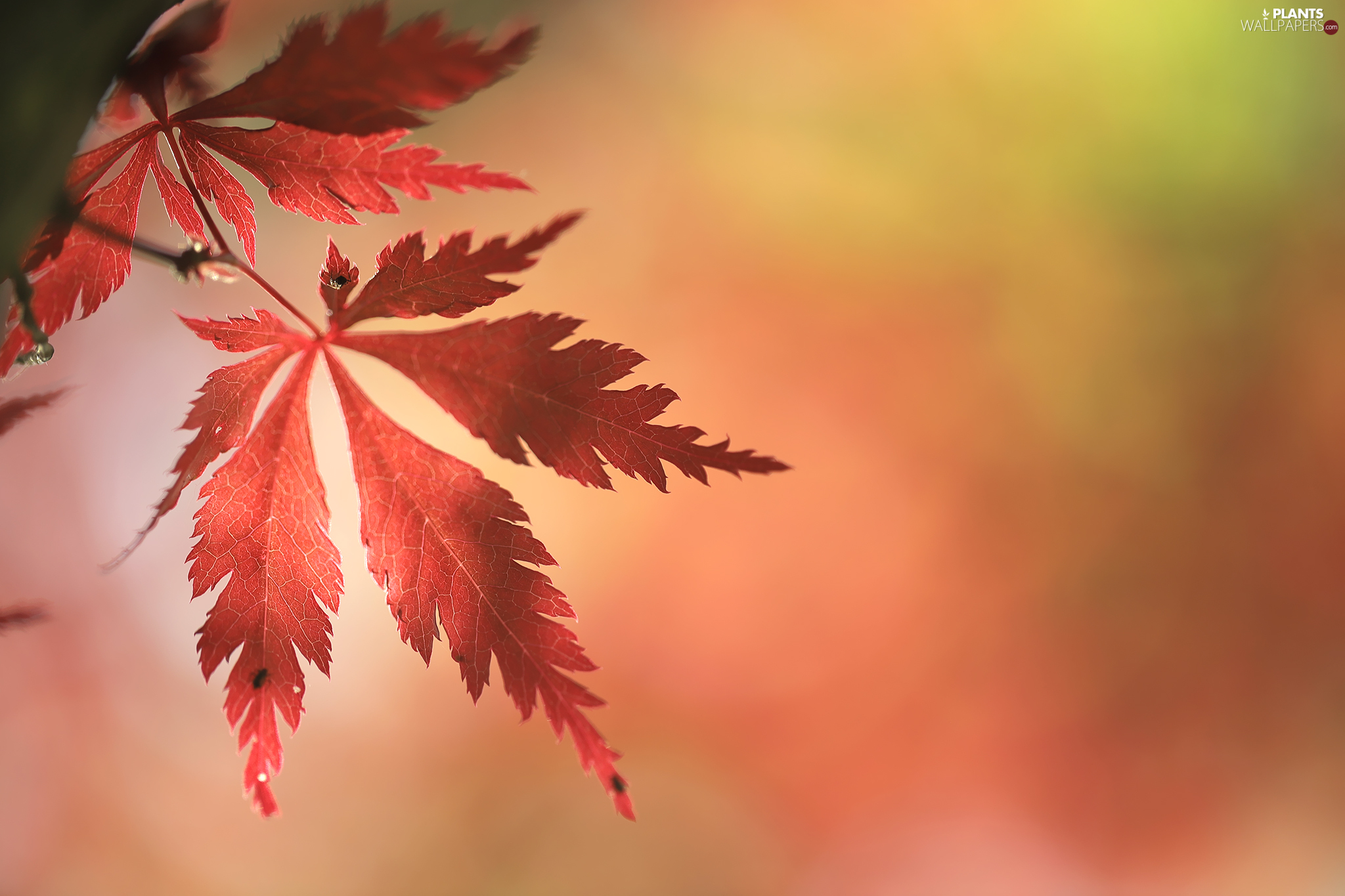 Maple Palm, Red, leaf