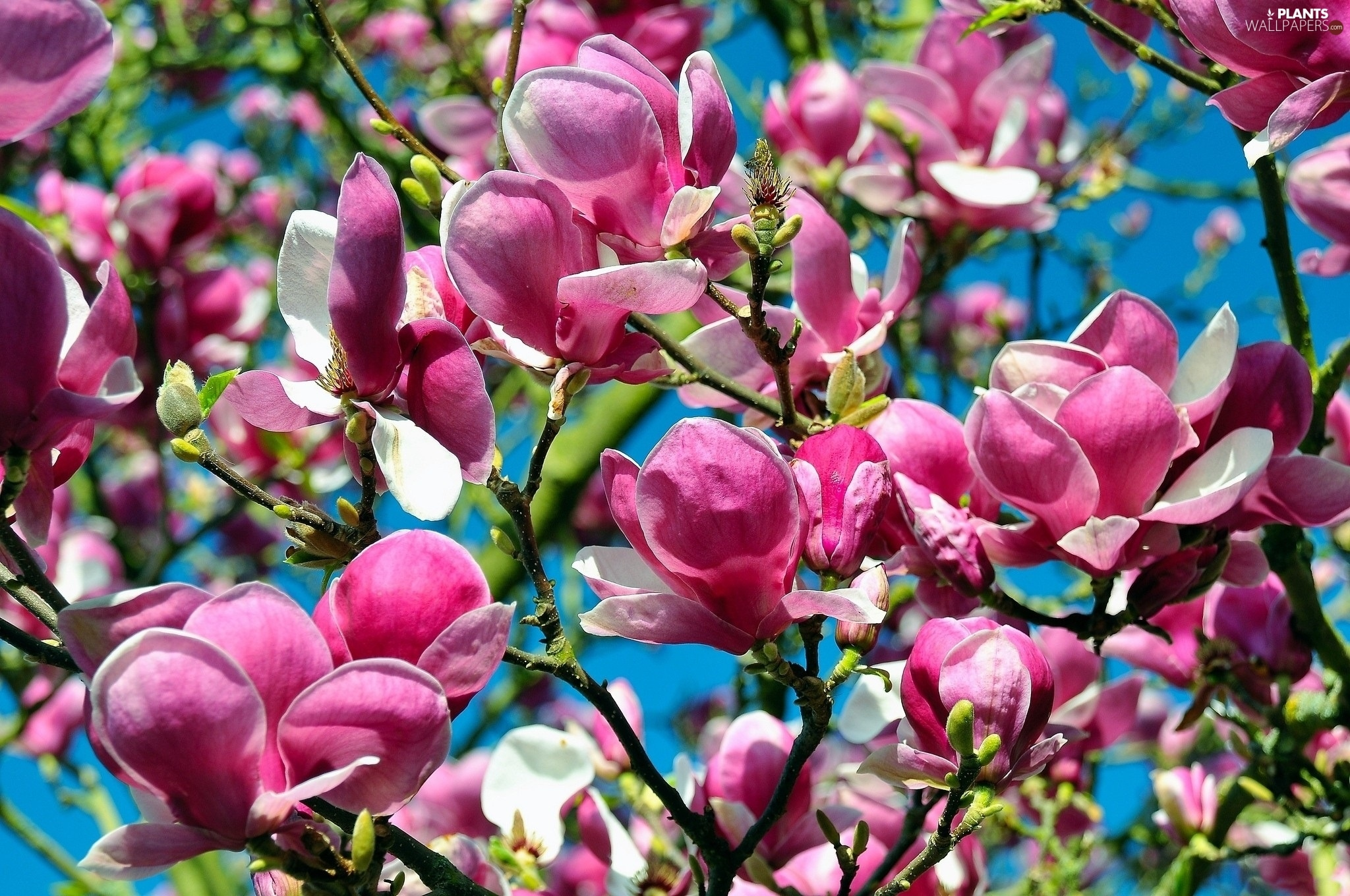 Flowers, viewes, Magnolii, trees