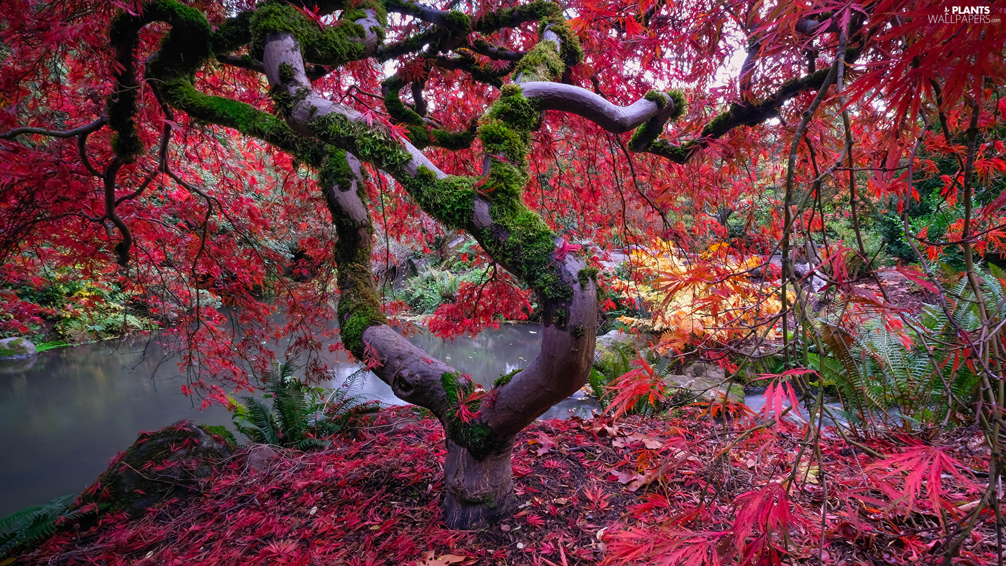 trees, mossy, branch pics, Japanese Maple
