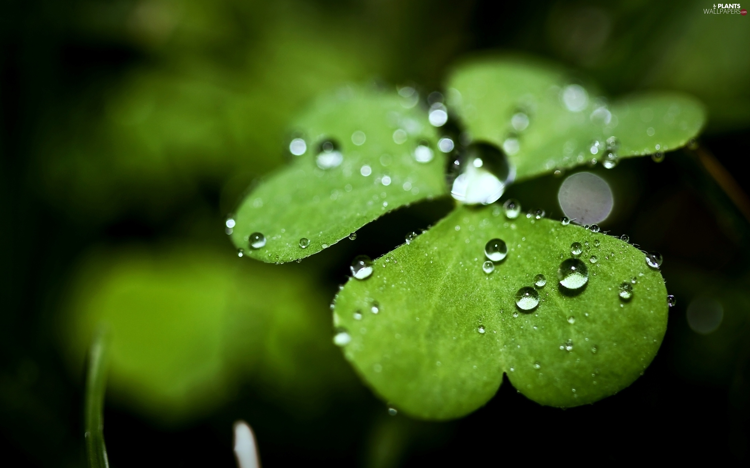 clover, drops, rain, leaves