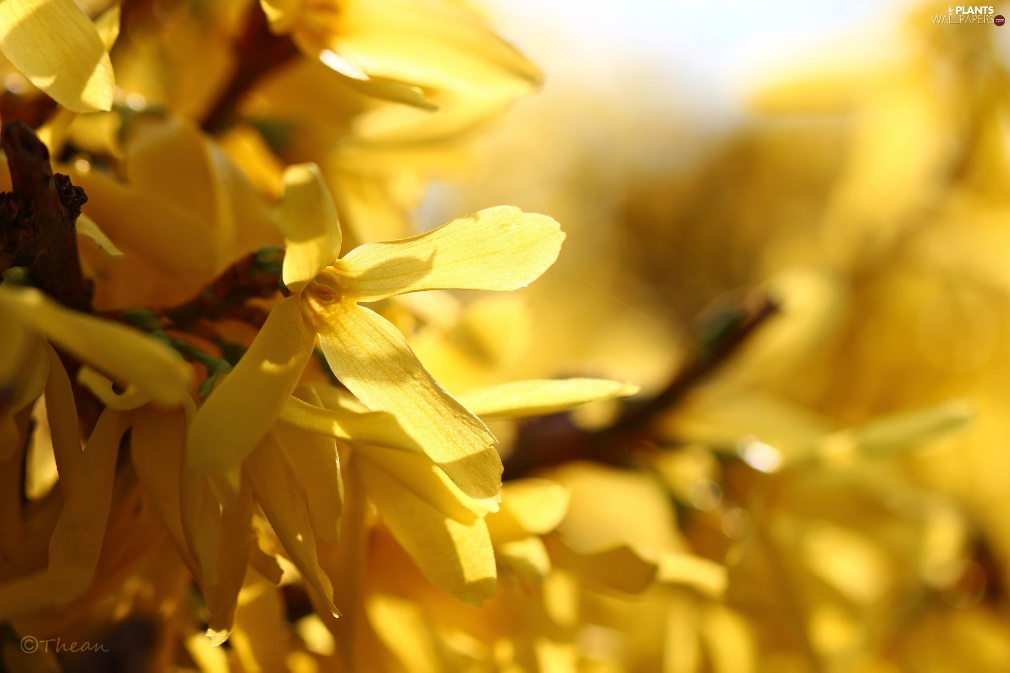 Yellow, forsythia, Spring, Flowers