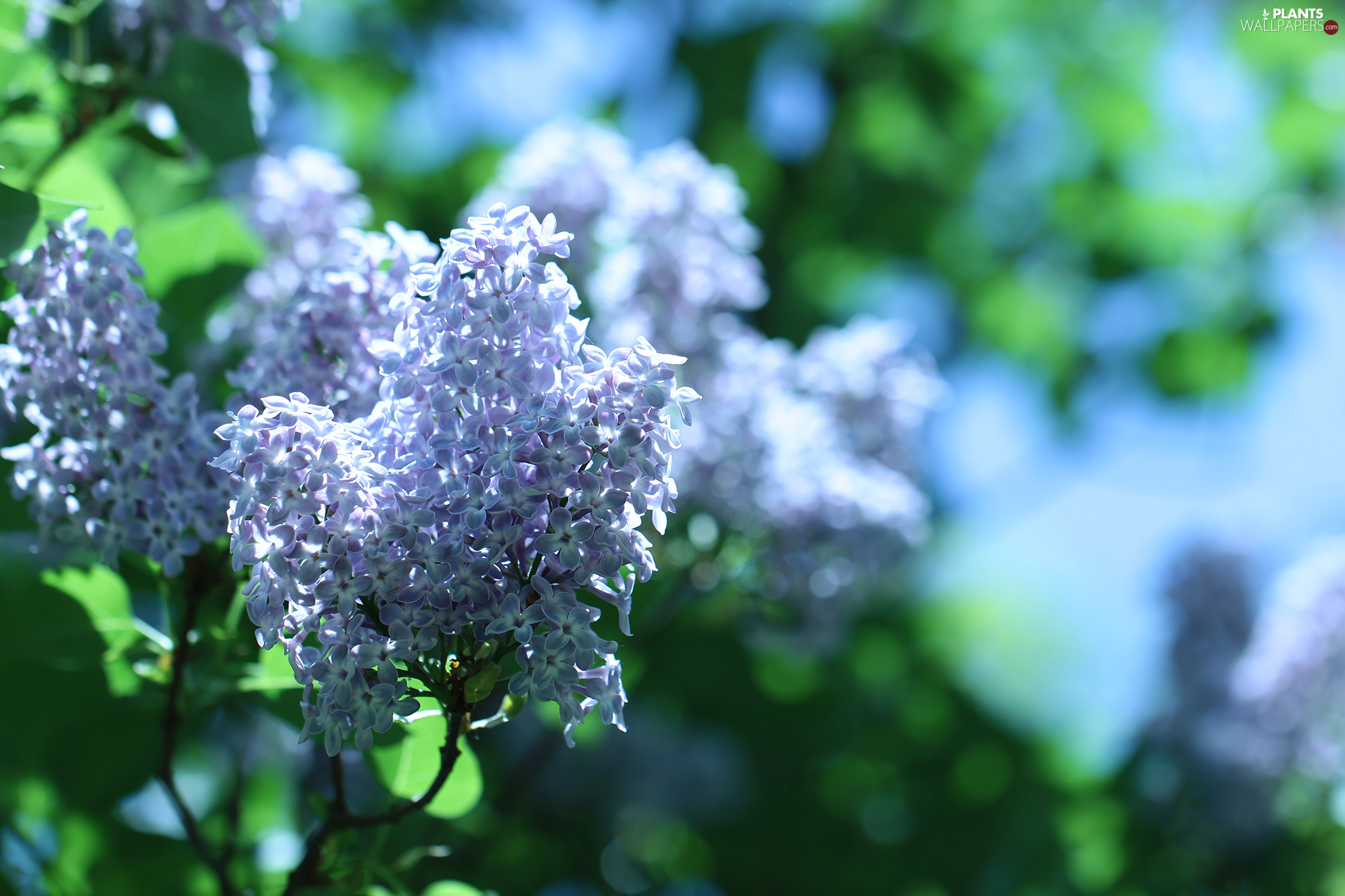 Syringa, without, twig