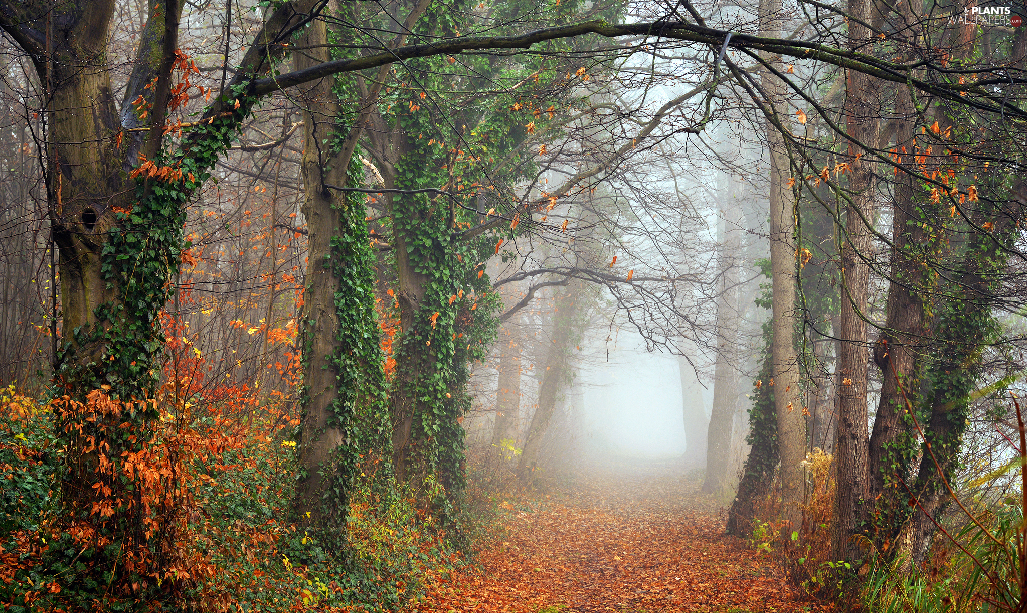 viewes, forest, Leaf, trees, autumn, Vines, Way