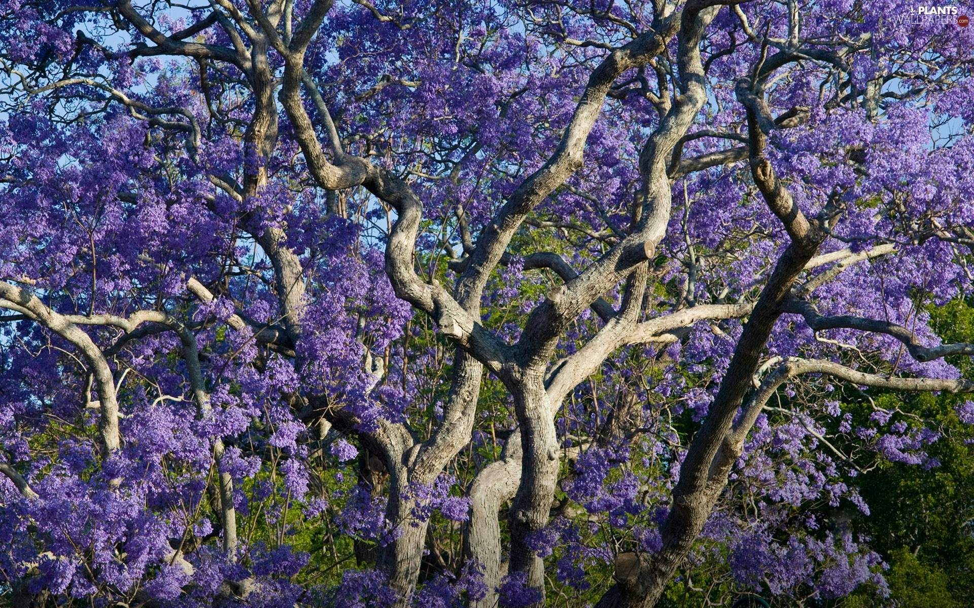trees, Violet, without