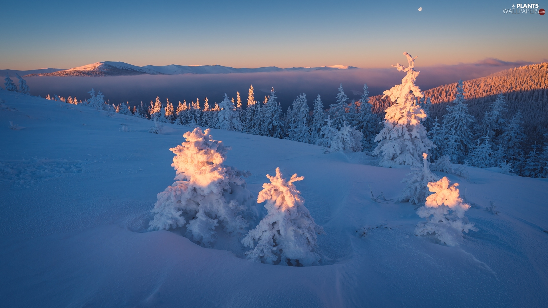 forest, winter, Spruces, Ukraine, Snowy, Carpathian Mountains