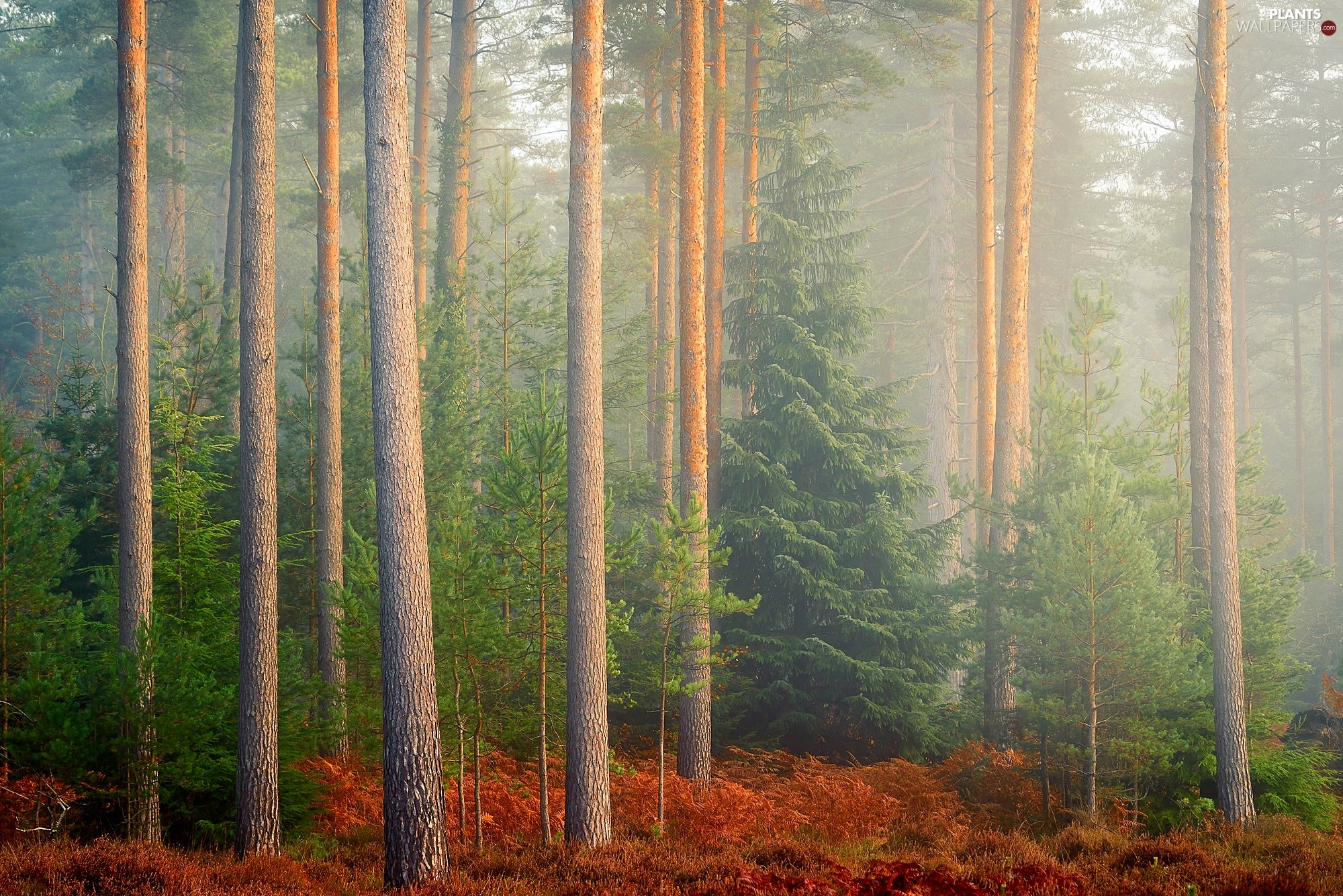 morning, trees, dry, viewes, forest, Fog, fern
