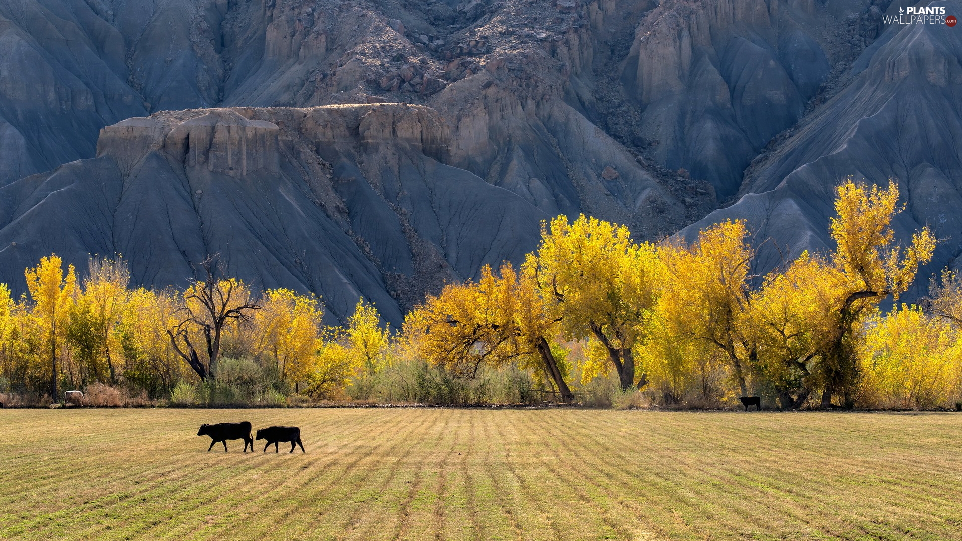 autumn, trees, mountains, viewes, field, Cows, slope