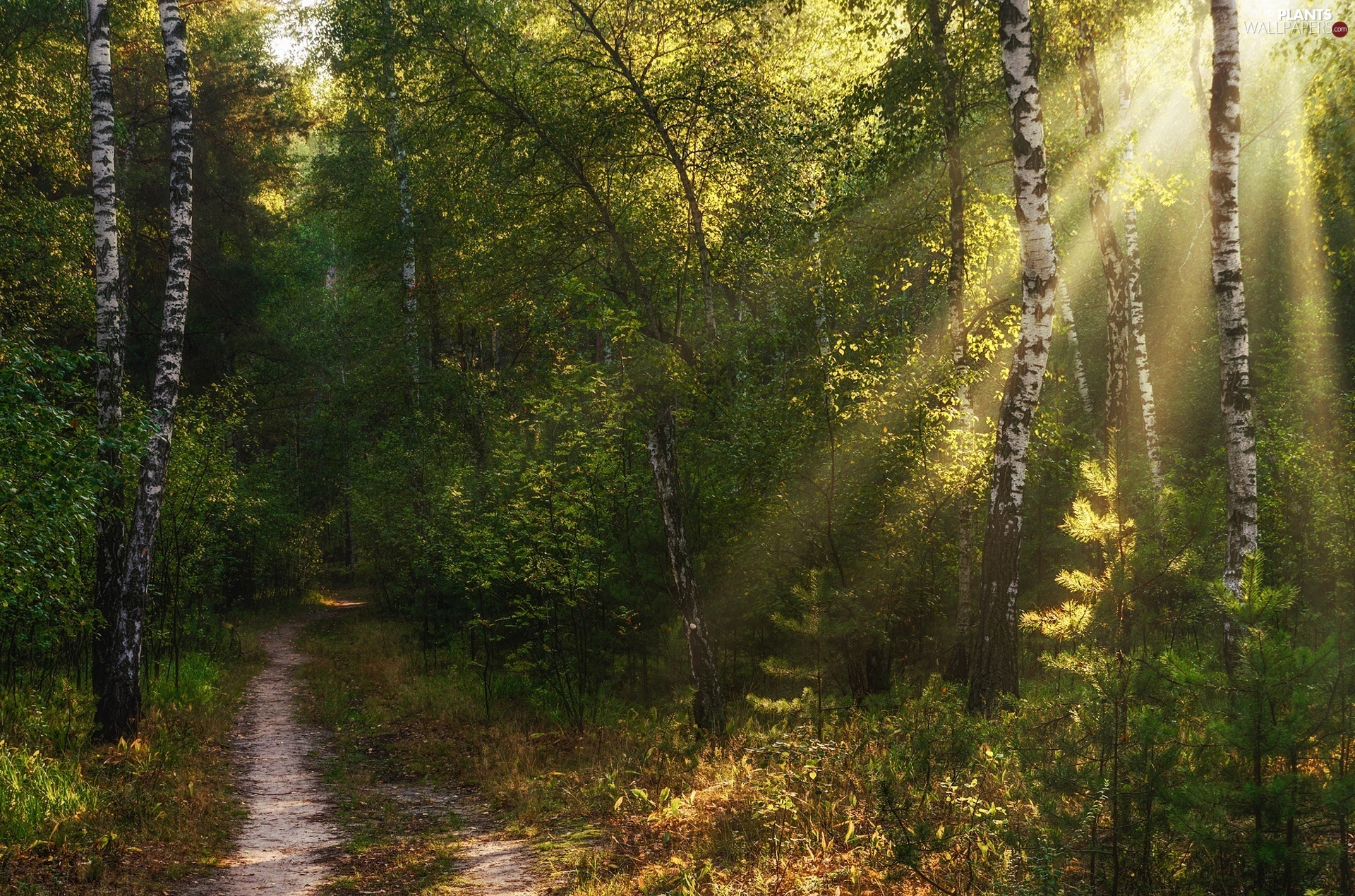 viewes, forest, Way, light breaking through sky, birch, trees