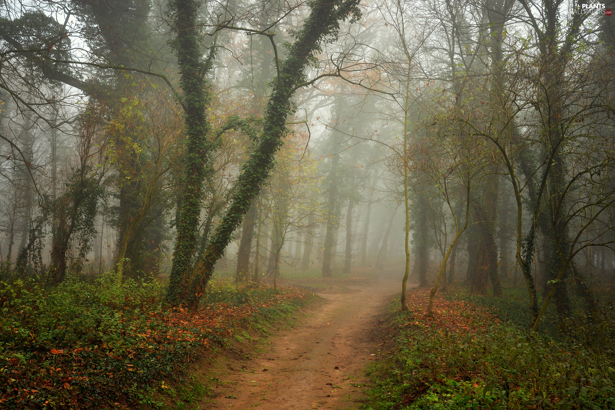 Vines, trees, Way, viewes, autumn, forest, Fog