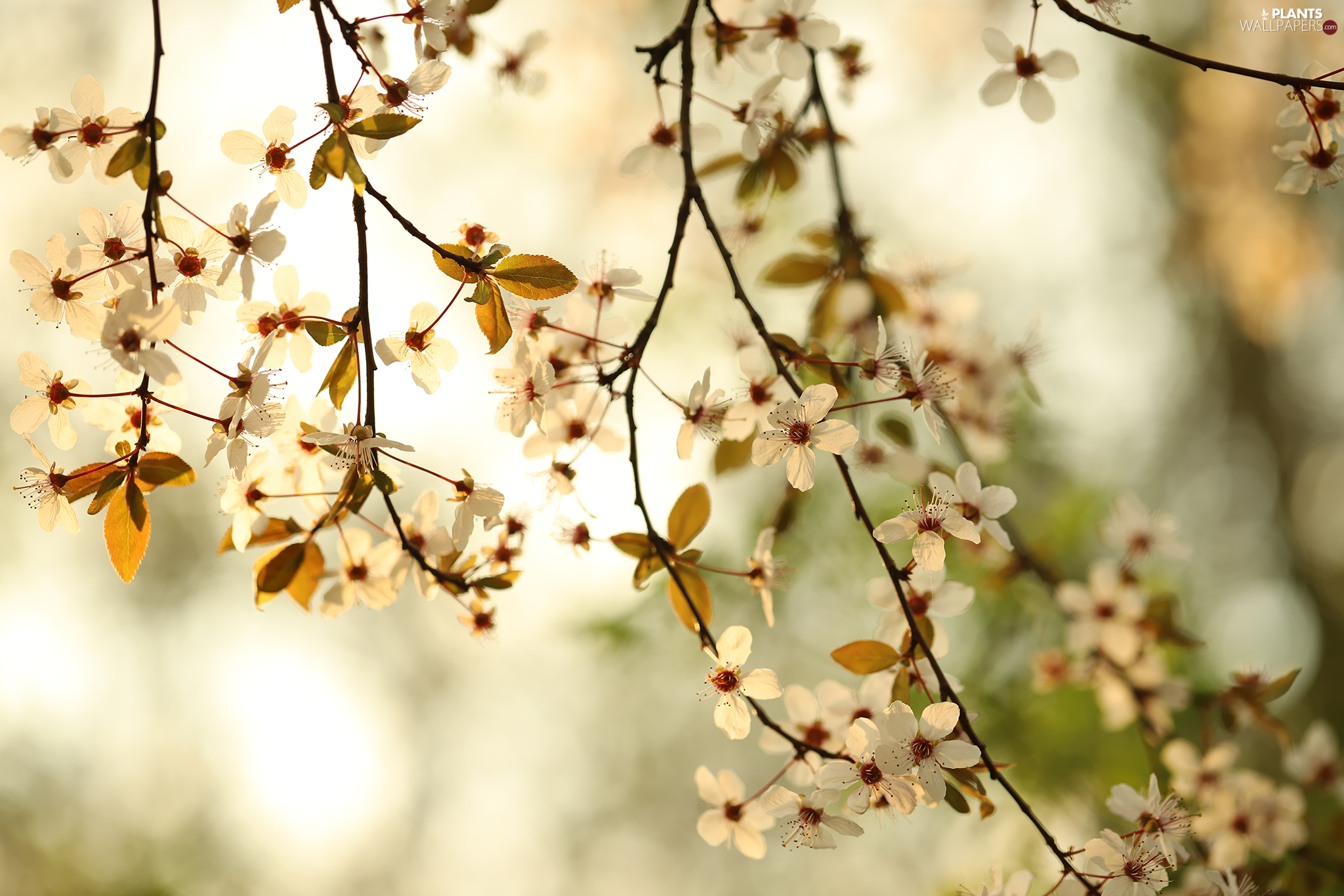 Twigs, blurry background, White, Flowers, Fruit Tree