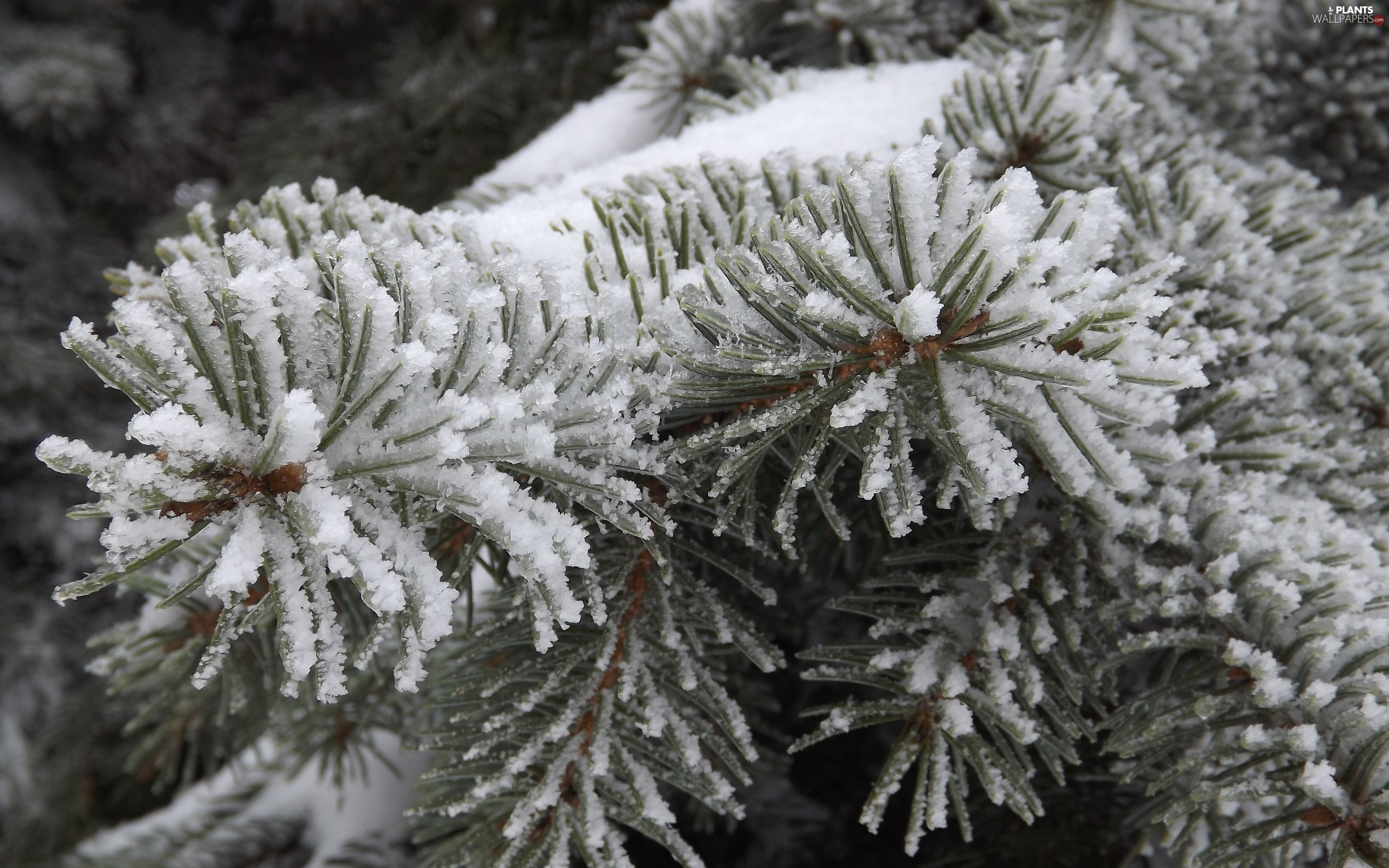 Twigs, snow, winter, spruce