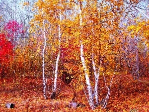 autumn, forest, birch