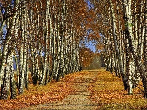autumn, Way, birch