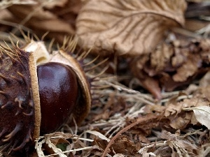 autumn, chestnut, Leaf