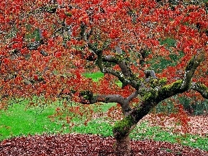 maple, autumn