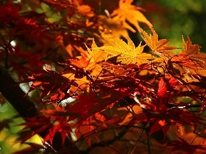 Maple Palm, Leaf, autumn, color