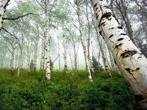 forest, viewes, birch, trees