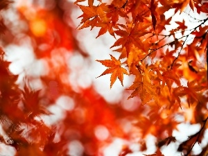 autumn, palmaceous, blur, maple