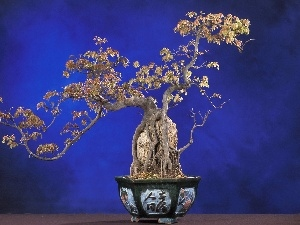 Bonsai, pot, sapling